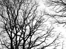 black branches white Royaltyfri Foto