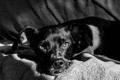 Black Brazilian terrier dog quietly at sunset with the rays of the sun beating on his face on the sofa stock photos