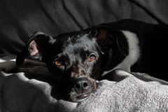 Black Brazilian terrier dog quietly at sunset with the rays of the sun beating on his face on the sofa stock image