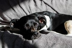 Black Brazilian terrier dog sleeping quietly at sunset with the rays of the sun beating on his face on the sofa royalty free stock image