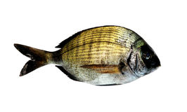 Black Bream Fish Royalty Free Stock Images
