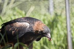 Black breasted buzzard Royalty Free Stock Images