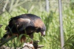 Black breasted buzzard Royalty Free Stock Photos