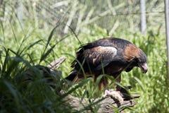 Black breasted buzzard Stock Photo