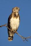 Black-breasted snake eagle Stock Photos