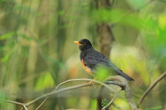 Black-breasted thrush Royalty Free Stock Images