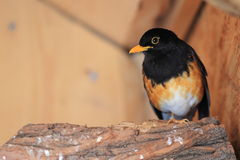 Black-breasted thrush Stock Photography