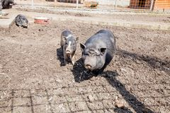 Black breed of pig Stock Image