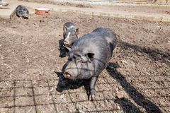 Black breed of pig Stock Photo