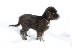 Black briard. Puppy in snow Royalty Free Stock Images