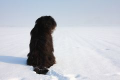 Black briard Royalty Free Stock Photos
