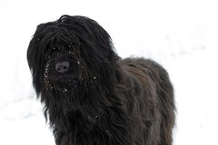 Black Briard Dog Stock Images