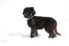 Black briard puppy. With dog-collar in snow Royalty Free Stock Photos