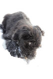 Black briard puppy Royalty Free Stock Photo