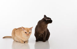 Black and Bright Brown Burmese cats Couple. Isolated on white background Royalty Free Stock Photography