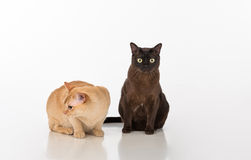 Black and Bright Brown Burmese cats Couple. Isolated on white background Royalty Free Stock Photo