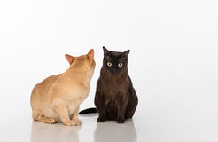 Black and Bright Brown Burmese cats Couple. Isolated on white background Stock Photos