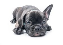 Black Brindle French bulldog puppy crouch. On White background Stock Photos