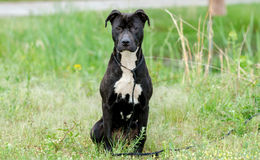 Black and Brindle Pitbull mixed breed dog. Female Black and white Brindle Pitbull mixed breed dog, green grass background, Walton County Animal Control Shelter stock image