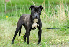 Black and Brindle Pitbull mixed breed dog. Female Black and white Brindle Pitbull mixed breed dog, green grass background, Walton County Animal Control Shelter royalty free stock image