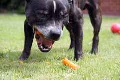A hungry dog enjoys eating a carrot. A black and brindle Staffordshire bull terrier, crunches on a juicy carrot on a hot summers day royalty free stock photo