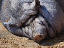 Black bristly house pig Royalty Free Stock Photo
