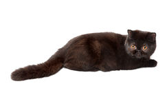 Black british cat Royalty Free Stock Photo