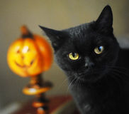 Black british cat. Close-up portrait on the background of halloween pumpkins Stock Photography