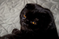 A black british cat on the gray cover Stock Image