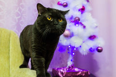 Black British cat near a white Christmas tree. Portrait of black British cat near a white Christmas tree in the studio Stock Photo