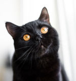 Black British cat with orange eyes Royalty Free Stock Image