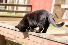 Black British cat walks on a wooden fence and scratches his claws. royalty free stock images
