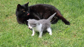 Black British purebred mother cat and newborn baby Stock Photo