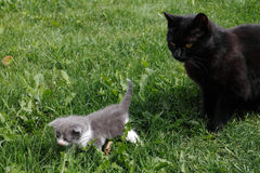 Black British purebred mother cat and newborn baby Stock Photography