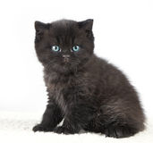 Black british short hair kitten Royalty Free Stock Images
