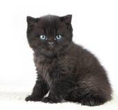 Black british short hair kitten Royalty Free Stock Images