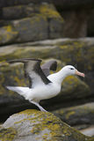 Black-browed Albatros Lizenzfreie Stockfotografie
