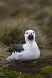 Black-browed Albatrosgegähne Lizenzfreie Stockfotos