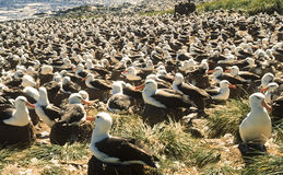 Black Browed Albatross Colony, Falkland Islands. Black-browed albatrosses sit on their mud nests, in the largest black-browed albatross colony in the world on Stock Photos