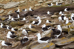 Black-browed Albatross colony. Falkland islands royalty free stock image