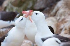 Black-browed albatross couple - Diomedeidae - courtship behavior on albatross colony in cliffs of New Island, Falkland Islands