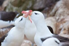 Free Black-browed Albatross Couple - Diomedeidae - Courtship Behavior On Albatross Colony In Cliffs Of New Island, Falkland Islands Stock Images - 210398824