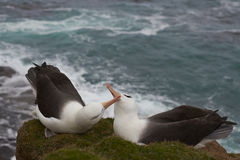 Black-browed Albatross courting - Falkland Islands. Pair of Black-browed Albatross Thalassarche melanophrys courting on the cliffs of Saunders Island in the stock image