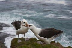 Black-browed Albatross courting - Falkland Islands Stock Photo