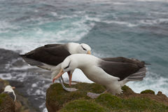 Black-browed Albatross courting - Falkland Islands Royalty Free Stock Photos