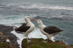 Black-browed Albatross courting - Falkland Islands Stock Photos