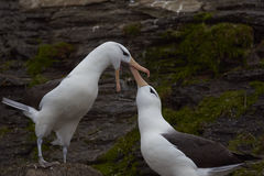 Black-browed Albatross courting - Falkland Islands Stock Image