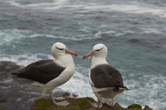 Black-browed Albatross courting - Falkland Islands Stock Images