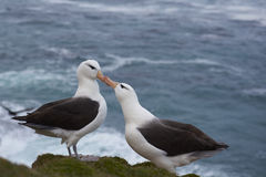 Black-browed Albatross courting - Falkland Islands Royalty Free Stock Image