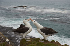 Black-browed Albatross courting - Falkland Islands Royalty Free Stock Photography